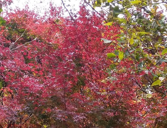 山燃える、紅葉 12月1日MTBライド 神戸西
